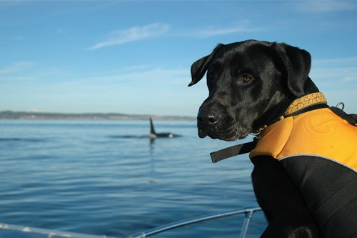 Photo of a black Lab in the orange life jacket