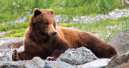 Brown bear laying on rocks in Glacier Bay, Alaska