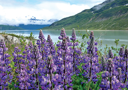 Purple flowers and mountains on Glacier Bay, Alaska