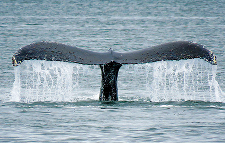 Humpback whale tail above water