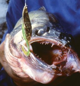 Close-up photo of a walleye with a lure in it's mouth