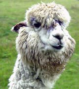 Photo of an alpaca