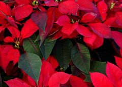 Photo of poinsettias