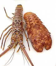 Photo of spiny Caribbean and Spanish slipper lobsters