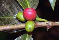 Photo of coffee beans on the vine