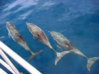 Photo of dolphins swimming alongside the boat