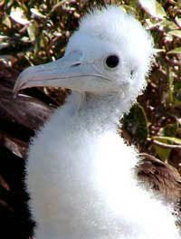 Photo of a fluffy baby booby bird