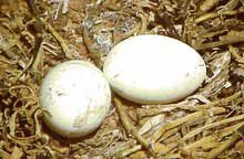 Photo of frigate eggs