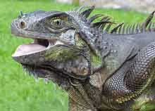 Photo of a giant iguana