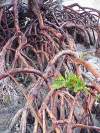 Photo of mangroves