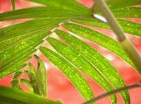Photo of a palm frond