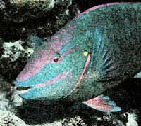 Photo of a parrotfish