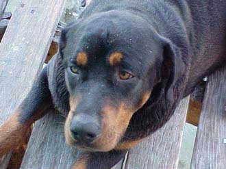 Photo of rottweiler Nanook