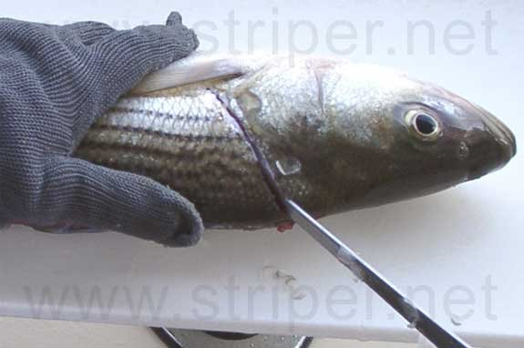 Photo of how to fillet a striper, Step 4