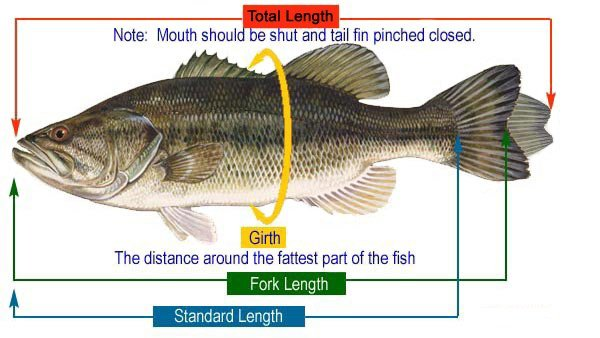 Diagram - how to measure a fish