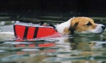 A small dog swims with a red dog live vest attached