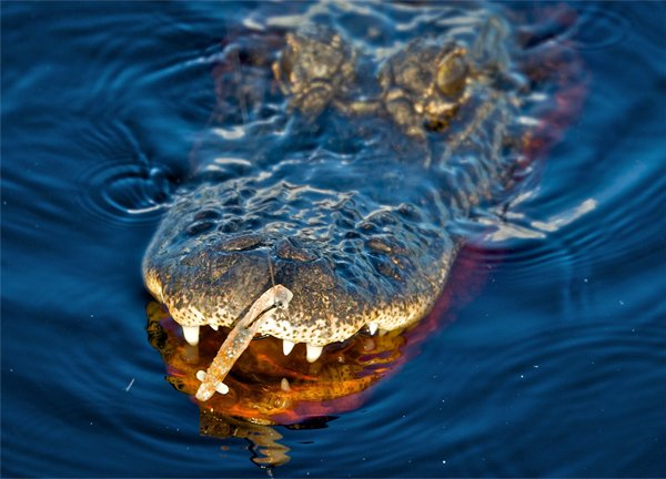 Photo of an alligator