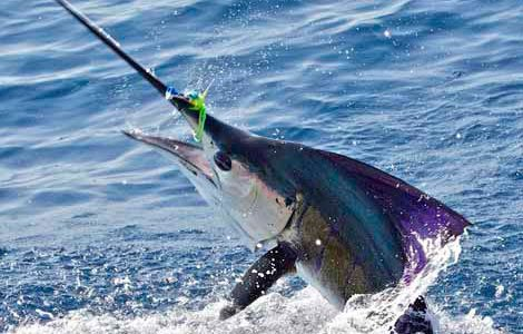 Photo of an angry sailfish