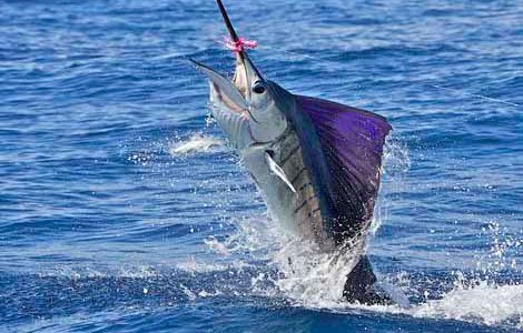 Photo of sailfish leaping out of the water