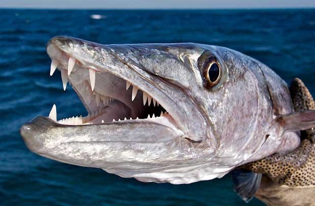 Photo of a barracuda