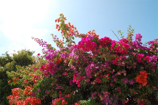 Photo of colorful bougainville