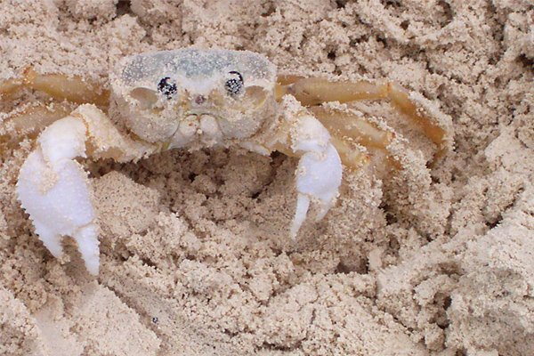 Photo of a sand crab