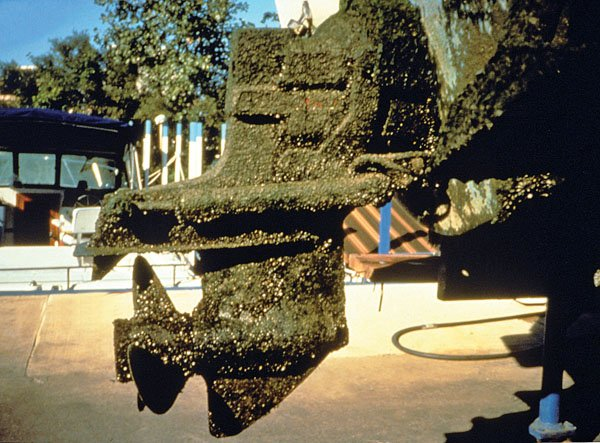 Photo of zebra mussels