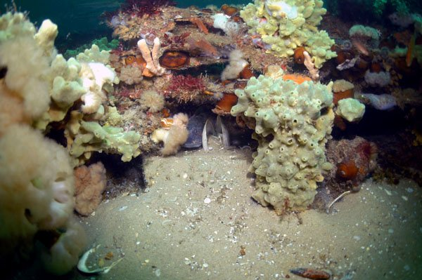 Photo of a deep boulder reef home to horse mussels, sponges, sea cucumbers, and anemones