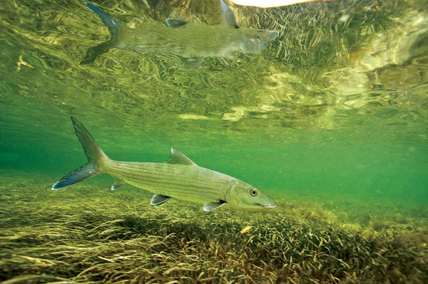 Photo of a seagrass bed with a fish swimming through it