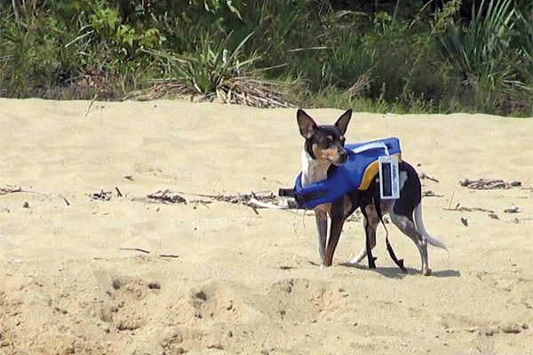 Photo of Spring, the rat terrier in his life jacket