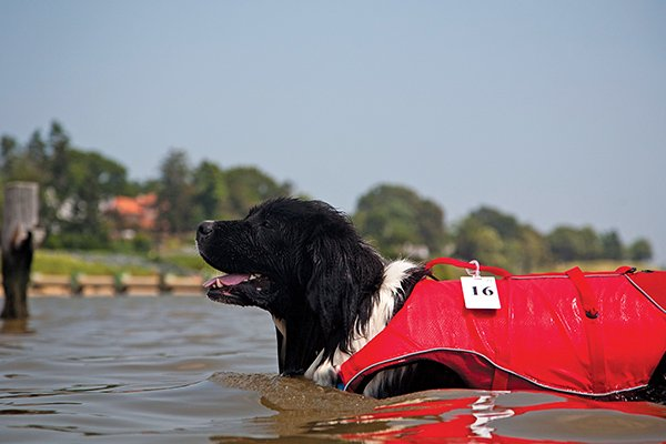 Photo of Murphy, the extra-large Newfoundland, wearing a Krugo Surf N' Turf