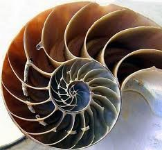 Photo of a large sea nautilus