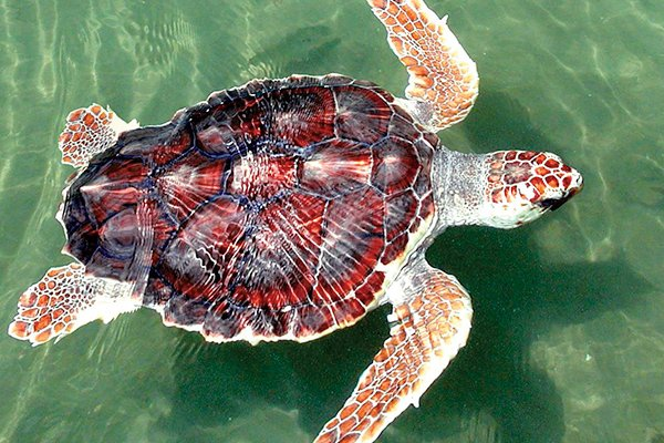 Photo of a sea turtle