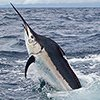 Thumbnail photo of a black marlin