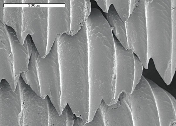 Photo of shark scales