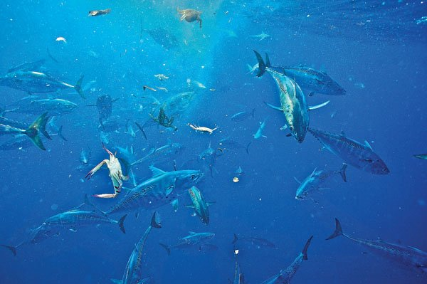 Photo of a shrimp boat by-catch sparking a tuna feeding frenzy