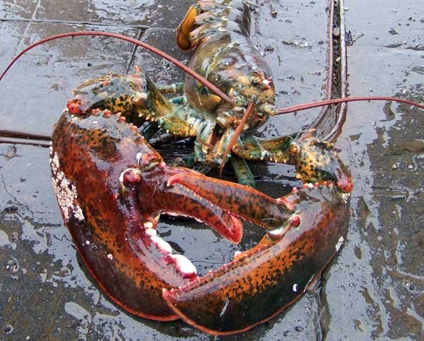 Photo of a lobster
