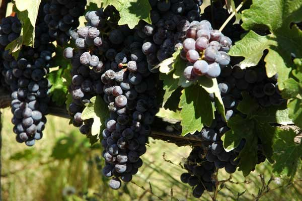 Photo of harvest in Napa