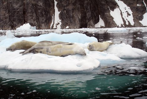 Photo of seals on an ice floe