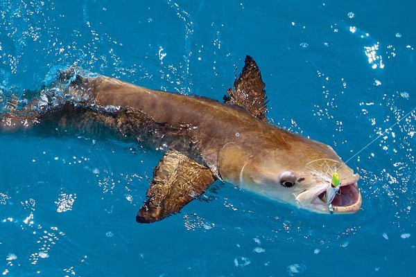 Photo of a cobia