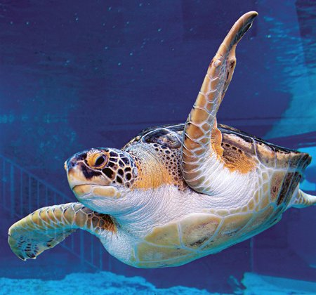 Photo of a loggerhead turtle swimming