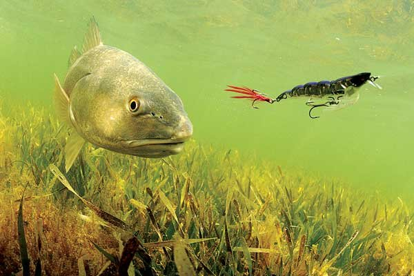 Photo of a redfish swimming after lure
