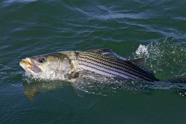 Photo of a stripped bass
