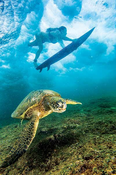 Photo of surfer and sea turtle