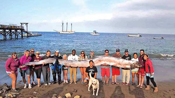 Photo of oarfish washed up off Catalina Island