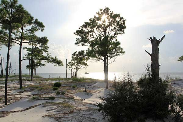 Photo of pine trees on Horn Island