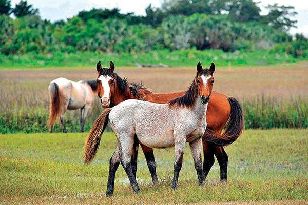 Photo of wild horses on Cumberland Island
