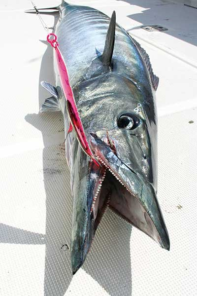 Spoon lure and Wahoo catch