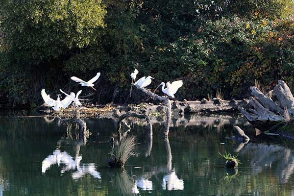 Egrets take flight from embankment on the San Joaquin River