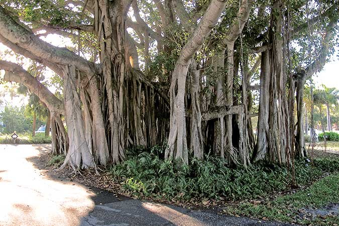 Banyan trees stand in watch over Gasparilla